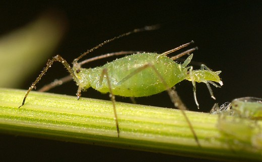 Aphid giving birth to living young