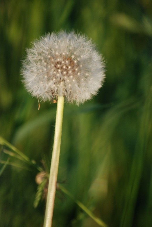 "The ""blow-ball"", a dandelion clock of seeds held up and tall."