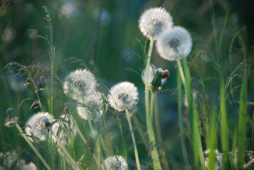 The dandelions grow old together. Their friends and the wind help the fruits to scatter.  They open in dry weather, softly releasing their fruits so tender.