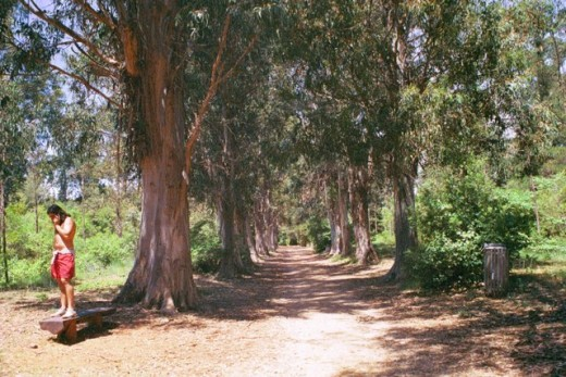 l'allée d'eucalyptus