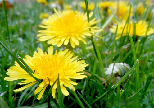 Dandelions all bright and perfect yellows, attracts insects and friendly fellows.