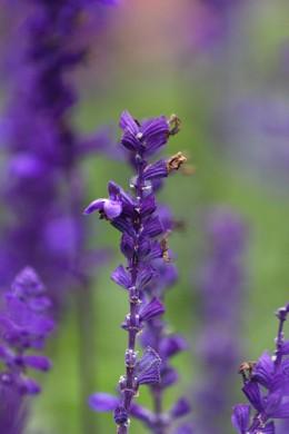 Lavender—Dennis Wong (Flickr.com)