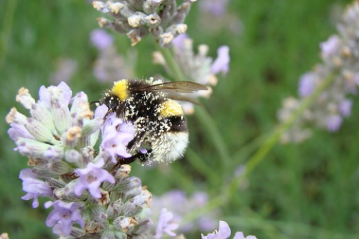 Lavender Bumble bees in the garden—Ceinwyn13 (Flickr.com)