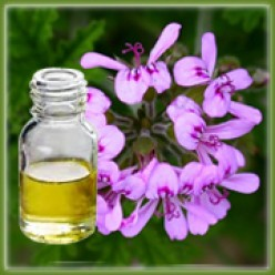 Geranium Oil and How it Can Help You