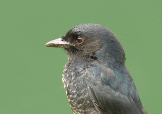 Forked-taited Drongo