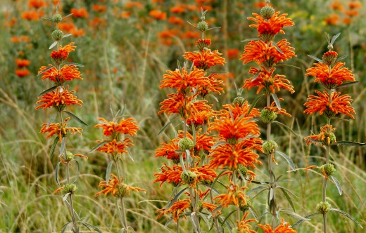 Wild Dagga, another winter food source for birds