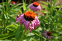 Echincea or Purple Coneflower