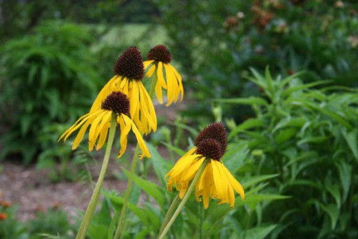 Echinacea also comes in yellow.
