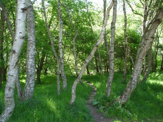 A glade of silver birch in Sherwood Forest.