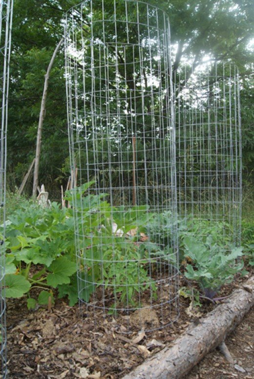 Installed tomato cage with young tomato plant