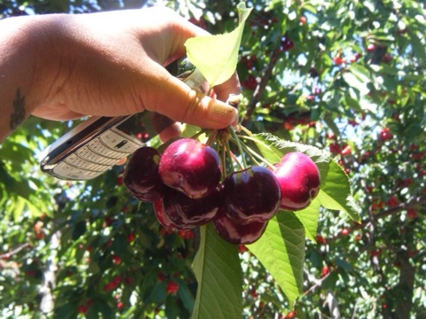 Look at the LIFE in that fresh picked organic cherry! Bing cherries are the most popular variety at cherry orchards in Bretwood, CA.