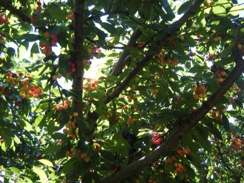 Ranier cherries.