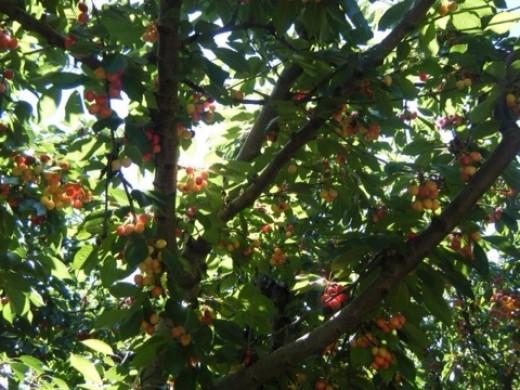 Ranier cherries.