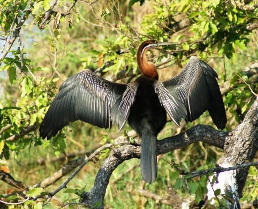 Darter - Kruger Park (Slang Voel -Snake bird)