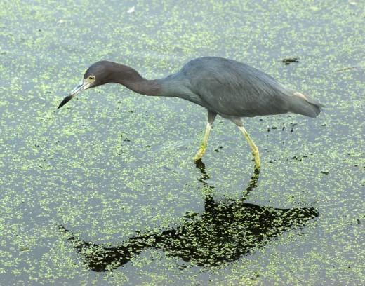 Reddish Egret? - Florida