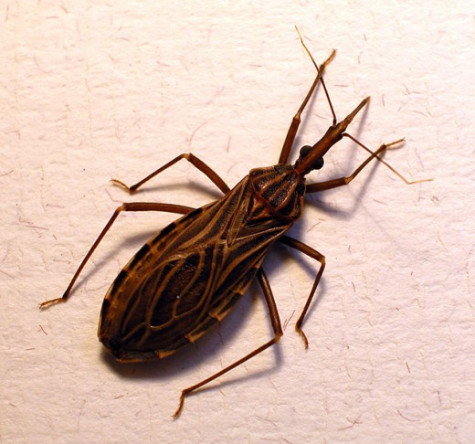 The Bug often called the Kissing Bug because it bites people on the face.