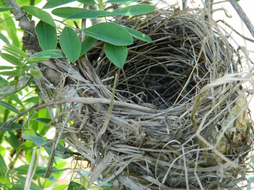 Typical Red-Winged Blackbird Nest