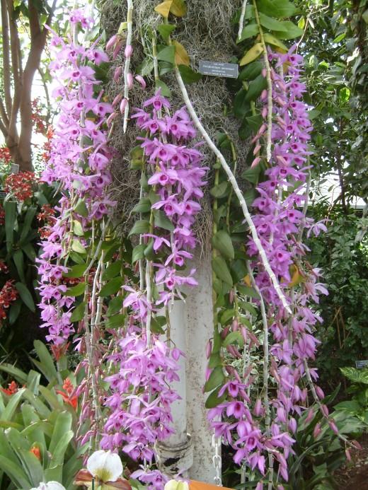 Cane Orchids