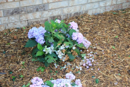 What is left of a new hydrangea.