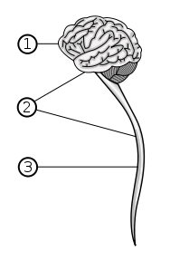 1. Brain 2. Central Nervous System 3. Spinal Cord