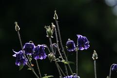 Dark purple columbine waving on slender stalks.