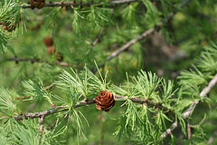 Tamarack, such a beautiful silvery green in the spring.