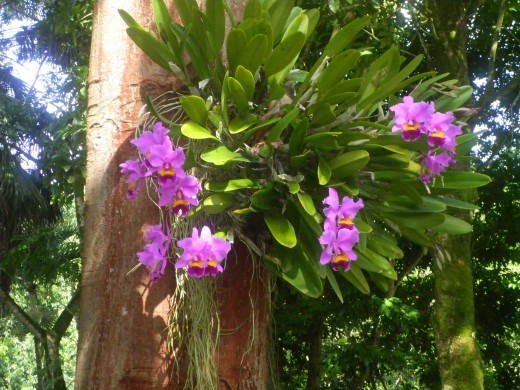 Orchids grow profusely on trees in the moist Waimea Valley.