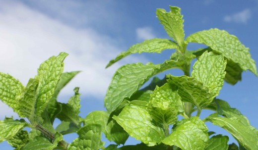 Mint is a natural insect repellent.