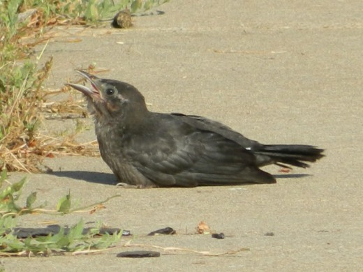 Fledgling Great-Tailed Grackle