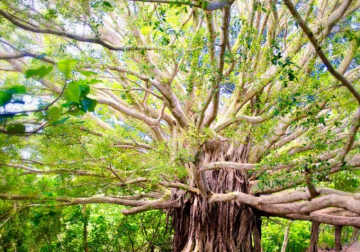 The giant Banyan tree