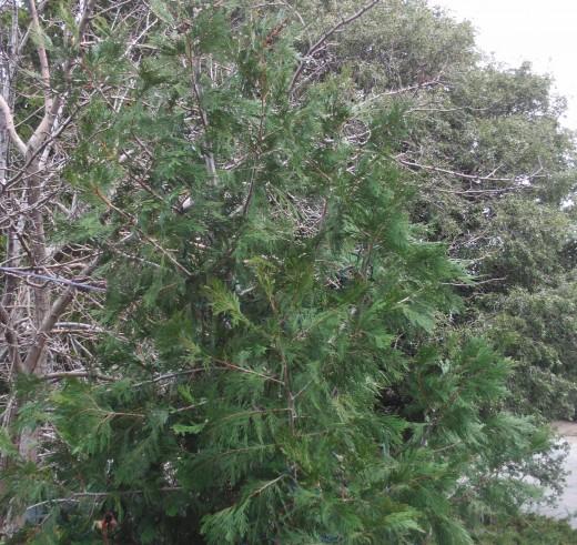 Another closeup of the cedar tree