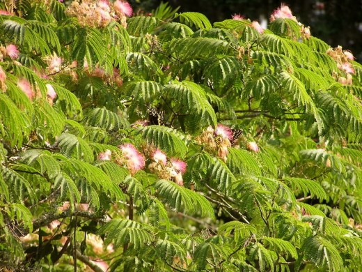 Mimosa trees and leaves close up