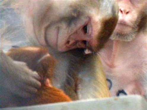 Monkeys treat their young very similarly to us humans