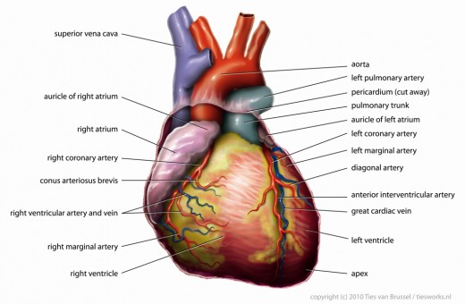 Anatomy of the Heart.  Photo by Tvanbr. Public Domain image.