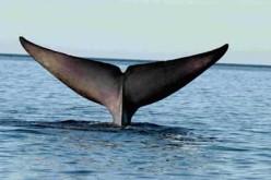 Blue' Whale's Flakes