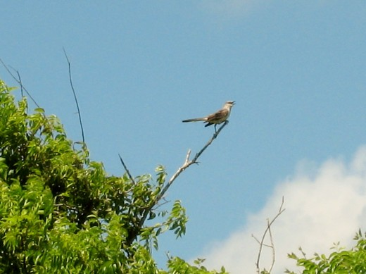 Mockingbird in sunny South Texas