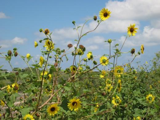 Sunflowers near Oso - Corpus Christi