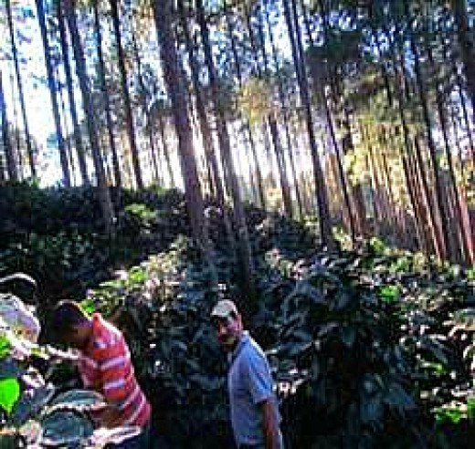 US investors tour an organic coffee farm in Honduras. Shade from the tall trees helps control weeds naturally.