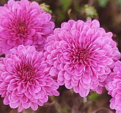 For many, blooming chrysanthemums are a beautiful symbol of autumn.