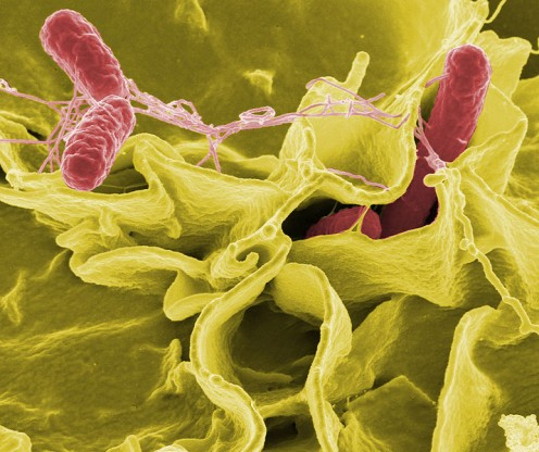 Salmonella, a typical food poison