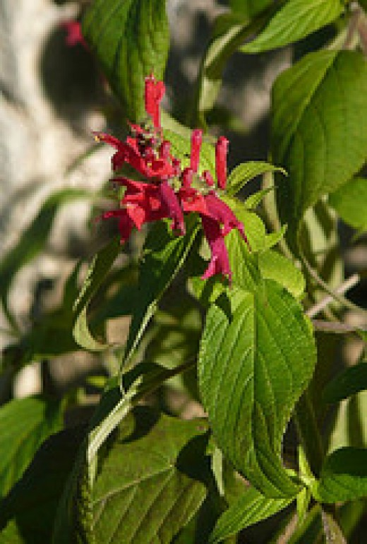 Pineapple sage in flower