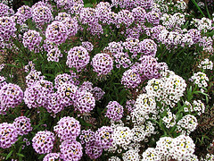 Sweet alyssum in bloom