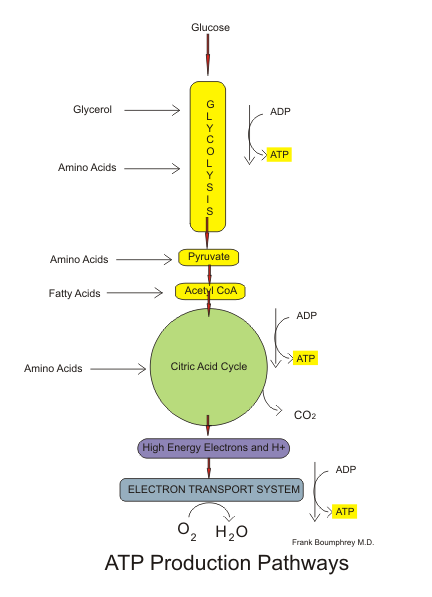 A closer, colour co-ordinated look at aerobic respiration, including the use of ADP