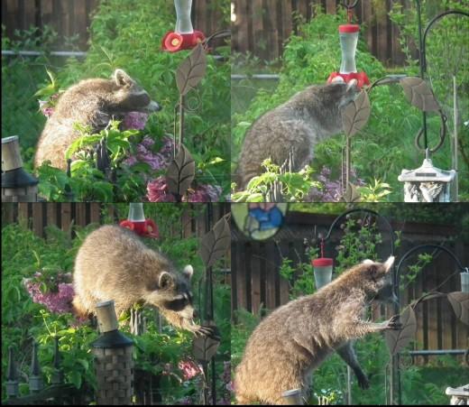 Raccoons even go after my hummingbird feeders