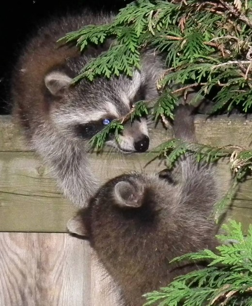 Cute raccoons helping each other scale the fence