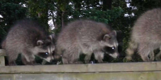Baby Raccoons out on the prowl
