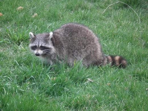Mother Raccoon