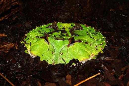 Green phase surinam horned frog, C. cornuta