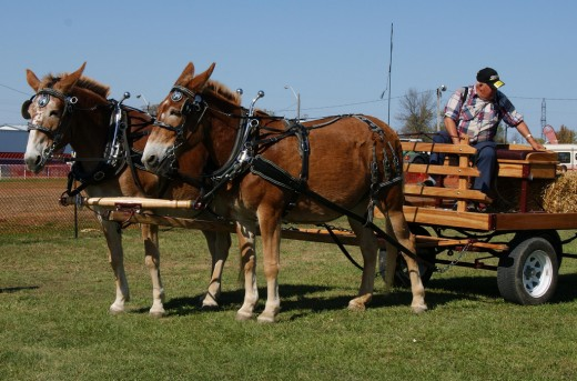 humbly helps provide his owners a well-plowed field, and able to move wagons with heavy loads.