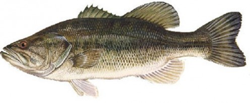 A Large-Mouth Bass, one of many species of fish in Alum Creek Lake.
